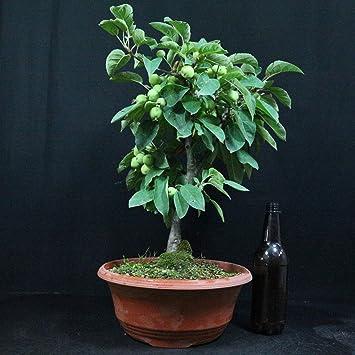 Manzano ornamental, Malus Golden Hornet, bonsái para exterior, 10 años, altura 40