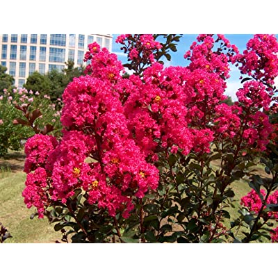 Large HOT Pink Crape Myrtle, 2-4ft Tall When Shipped, Matures 8ft, Pack of 5, Bright HOT Pink Flowers, (Shipped Well Rooted in Pots with Soil) : Garden & Outdoor