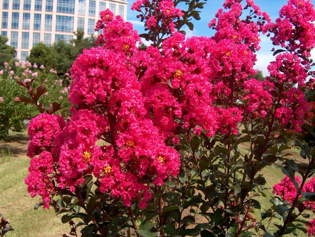 12 Cuttings Hot Pink Crape Myrtle Crepe Myrtle