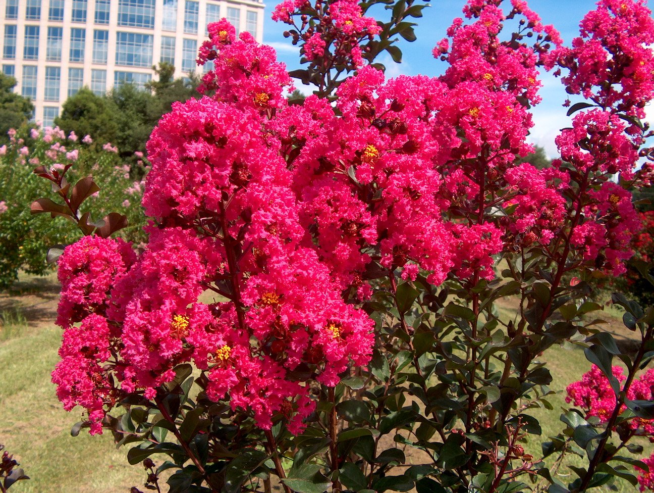 LARGE HOT PINK CRAPE MYRTLE, 2-4ft Tall When Shipped, Matures 8ft, 1 Tree, Bright HOT PINK Flowers, (Shipped Well Rooted in Pots with Soil)