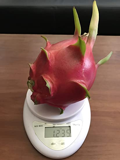 """Details about  /Red Dragon Fruit Puerto Rico 1 Cuttings in photo 5-10/"""" long"""