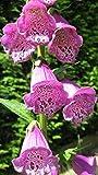 Staudenkulturen Wauschkuhn Digitalis purpurea 'Gloxiniaeflora' - Fingerhut - Staude im 9cm Topf