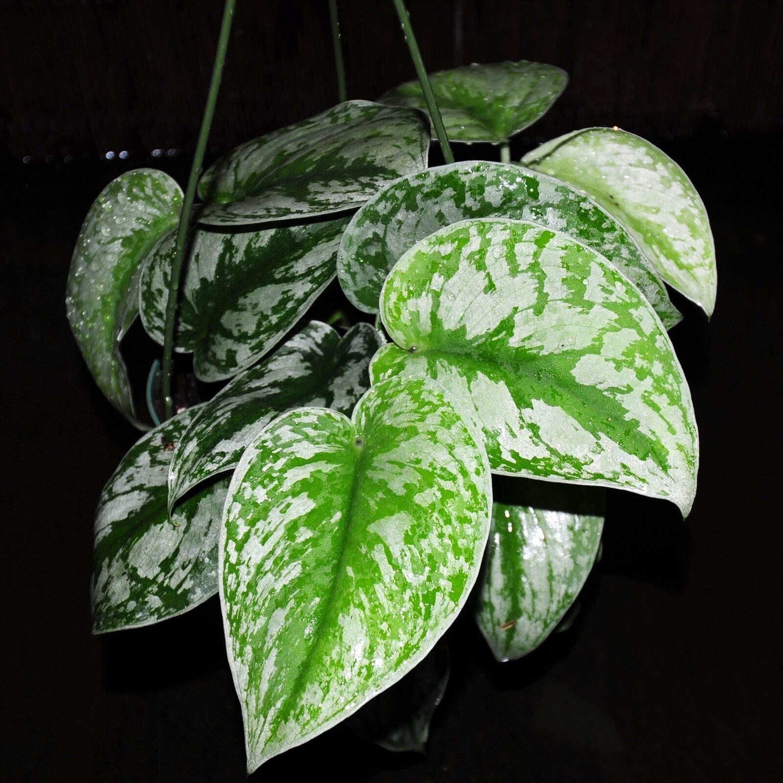 Sale~Silver Satin Pothos 'Scindapsus Pictus' 5'' Hanging Basket Houseplant (Premium Quality) by AY-Premium