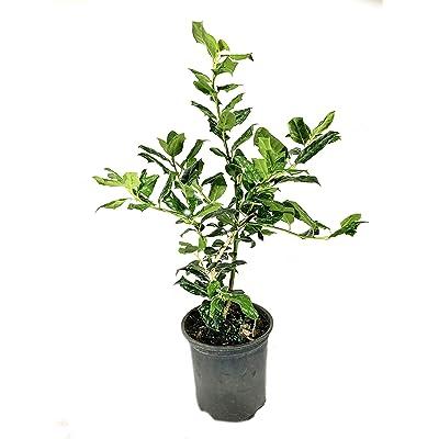 Nellie R. Stevens Holly - 5 Live Plants in 6 Inch Pots - Ilex Nellie R. Stevens - Fast Growing Ornamental Evergreen Shrub : Garden & Outdoor