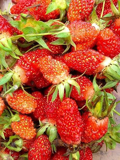 Amazon.com: 20 semillas de fresa alpina: Jardín y Exteriores