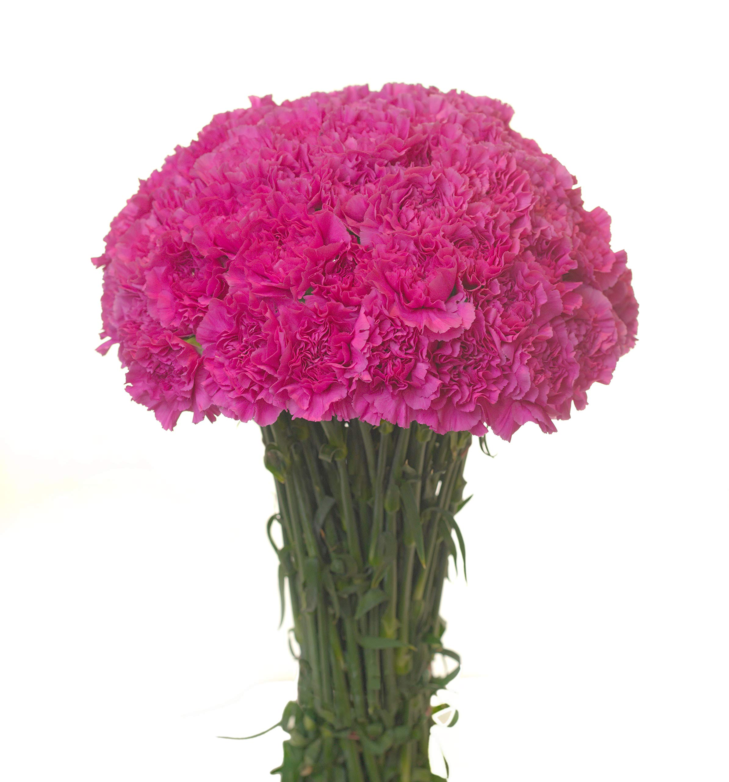 Carnations Multiple Colors and Quantities (50, Lavender)
