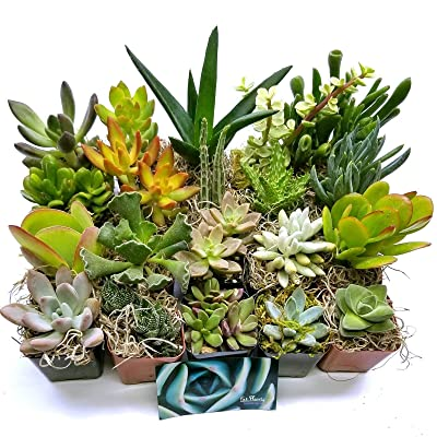 Cutdek Fat Live Plants Succulent 20 Plant Rooted Mini Pots Garden Best Gift Weddings : Garden & Outdoor