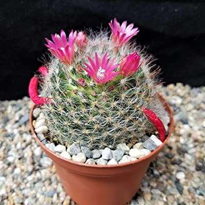 Mammillaria bocasana rosalviflora Cactus Cacti Succulent Real Live Plant : Garden & Outdoor