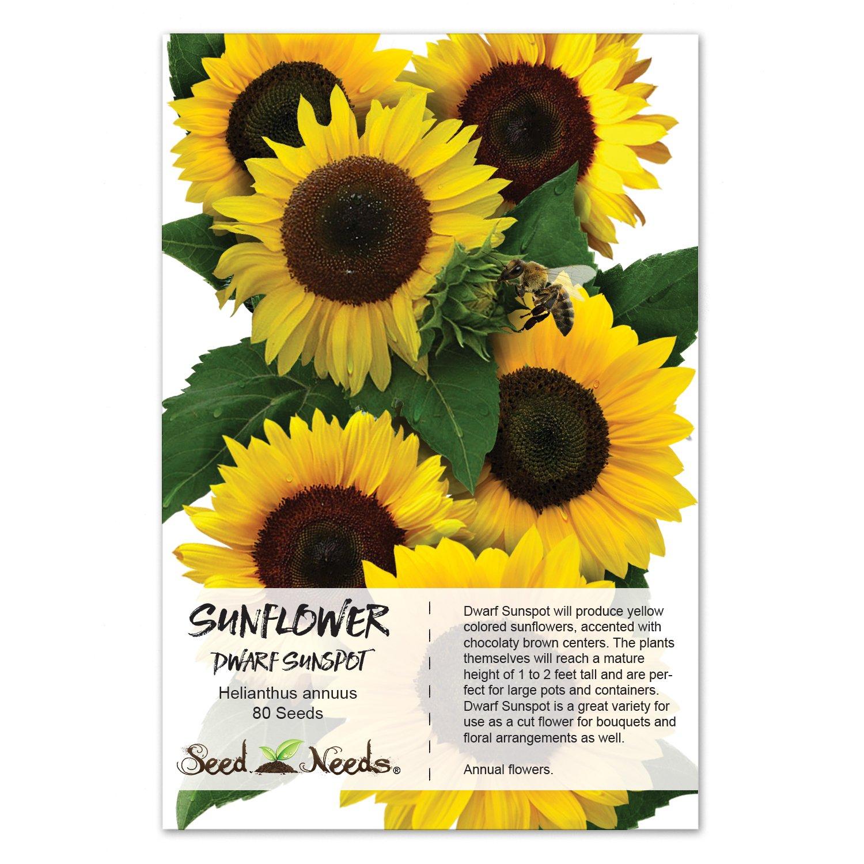 Amazon 80 Sunflower Seeds Dwarf Sunspot Helianthus Annuus