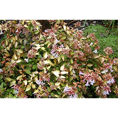 Abelia Francis Mason Qty 60 Live Plants Blooming Butterfly Attractant : Garden & Outdoor