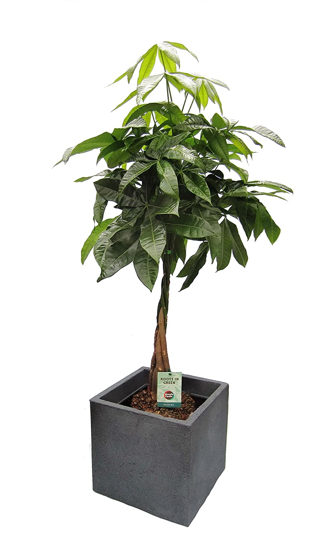 Amazon.de Pflanzenservice Blumen Glückskastanie Pachira, 1 Pflanze im Scheurich Topf C-Cube, circa 29 x 29 x 27 cm, 60-80 cm hoch, stony schwarz / mehrfarbig