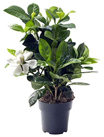 Amazon Com Kabloom Gardenia Bonsai Tree In A 4 Inch Grow Pot Indoor Outdoor Plant Grocery Gourmet Food
