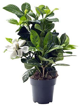 KaBloom Gardenia Bonsai Tree In A 4 Inch Grow Pot   Indoor U0026 Outdoor Plant