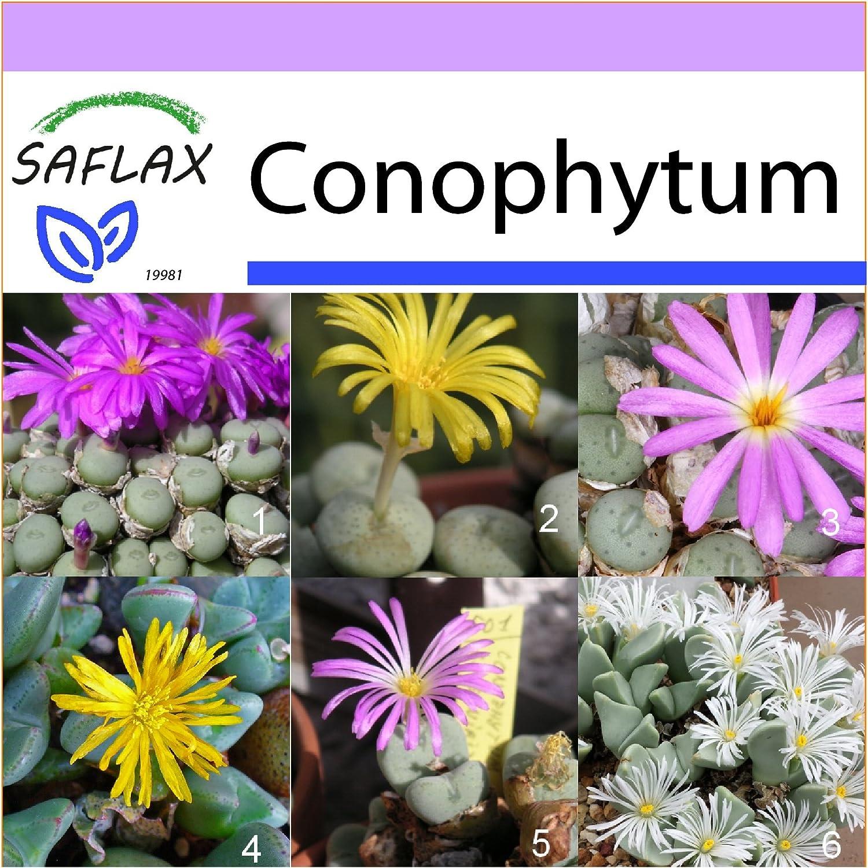 SAFLAX - Flowering Stones/Conophytum Mix - 40 seeds - Conophytum Mix