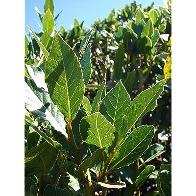 Laurus nobilis - 'Bay Leaf Tree' - Bay Laurel or Sweet Bay - Live Plant : Garden & Outdoor