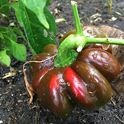 AchmadAnam - Seeds 20+ Ruffled Pimento Pepper (Organic Chili, Chile) Great for Stuffing : Garden & Outdoor