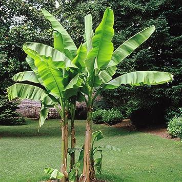 Geliebte Bananenbaum Musa Basjoo - 4 bäume: Amazon.de: Garten @MT_07