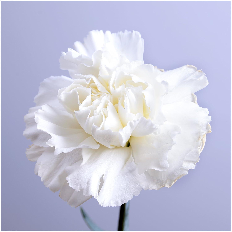 Amazon Package Of 500 Seeds Grenadin White Carnation