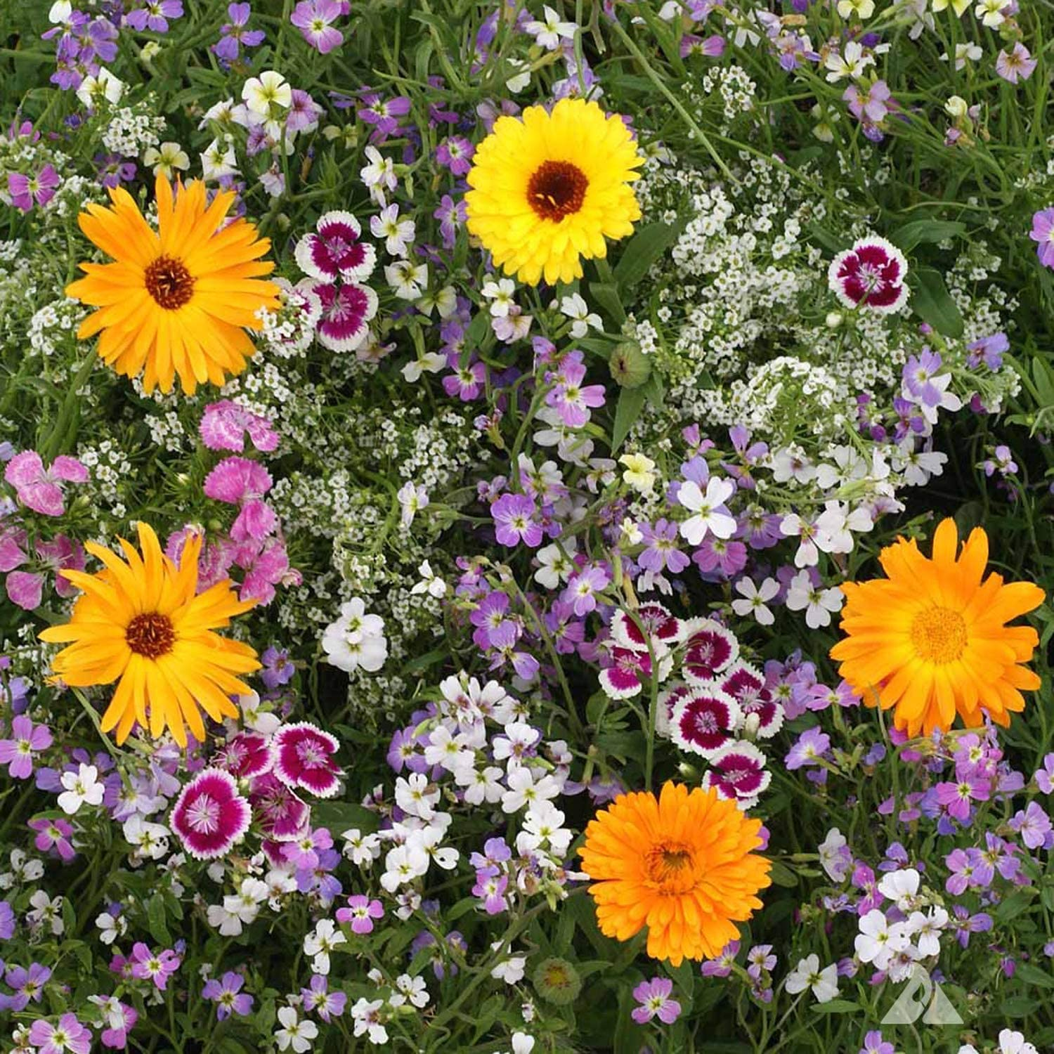 UtopiaSeeds Fragrant Flower Seed Mix - Grow a Beautifully Fragrant Garden - Annuals and Perennials