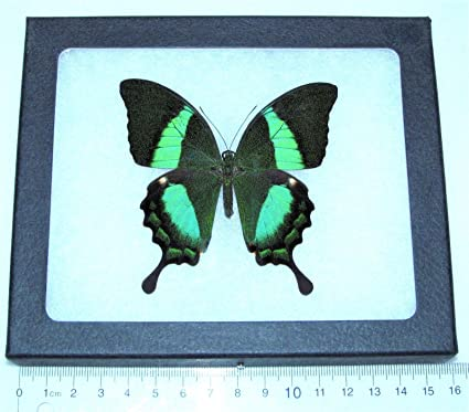 Amazon.com - Bicbugs, LLC REAL FRAMED BUTTERFLY GREEN PAPILIO ...