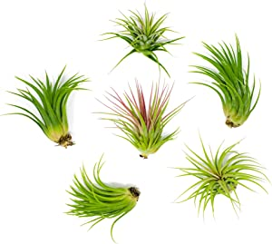 6 Lowlight Air Plant Pack - Live Low-Light Plants | Indoor Tropical Tillandsia Houseplant Kit | Natural Low Light Decorations by Plants for Pets