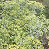 500 Samen Dill Dukat – Anethum graveolens, beliebtes Gewürzkraut