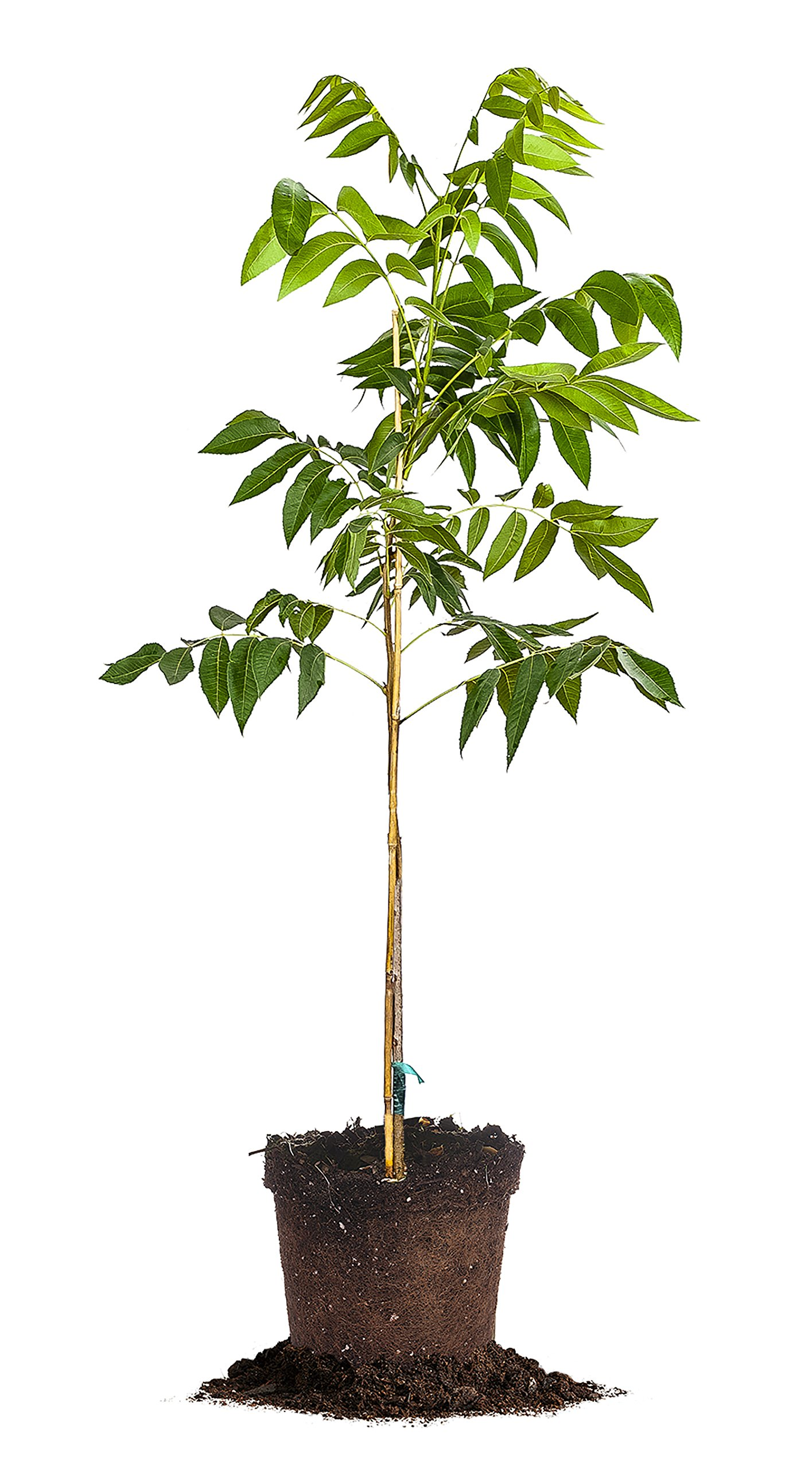 AMLING PECAN TREE - Size: 5 Gallon, live plant, includes special blend fertilizer & planting guide