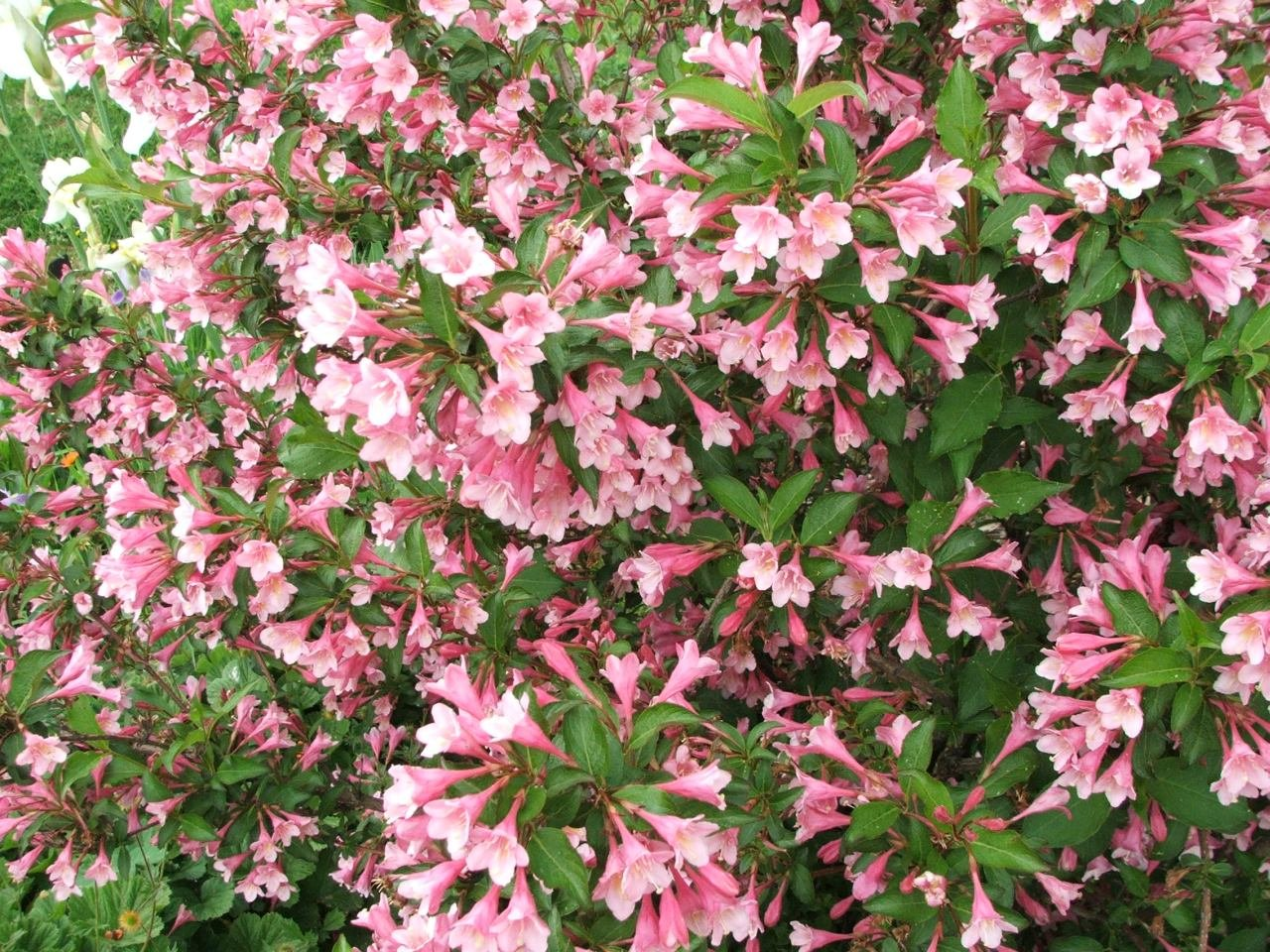 Amazon Pink Variegated Weigela Healthy Established Roots 1
