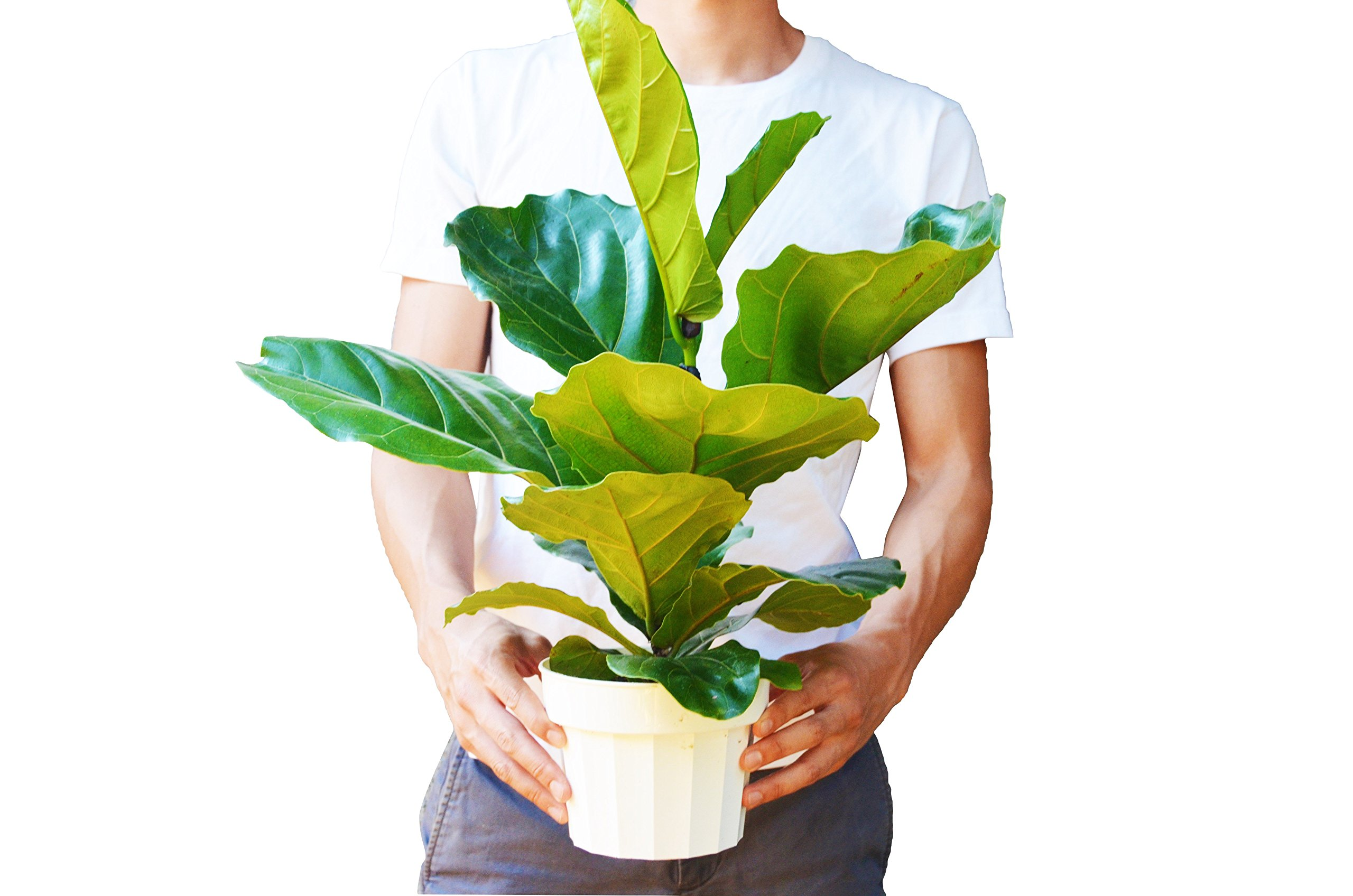 Ficus Lyrata Plant - In 6'' Pot/'Fiddle Leaf Fig'/18'' - 24'' Tall/Live Plant/FREE Care Guide/House Plant/EASY CARE
