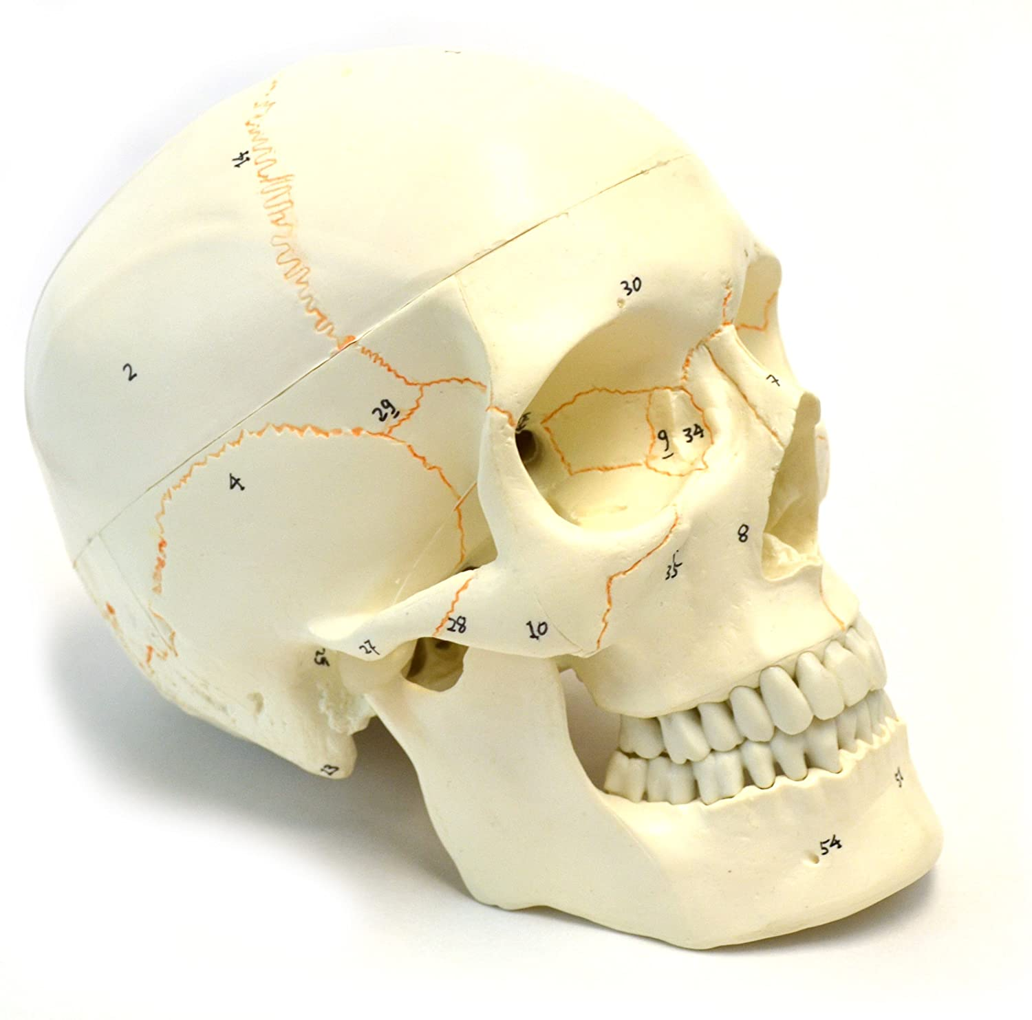 Numbered Human Adult Skull Anatomical Model, Medical Quality, Life Sized (9' Height) - 3 Part - Removable Skull Cap - Shows Most Major Foramen, Fossa, and Canals - Includes Full Set of Teeth hBARSCI
