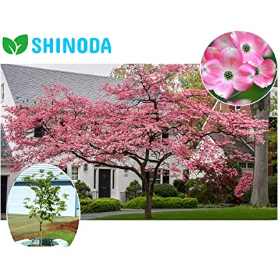 "Pink Dogwood Tree, Gorgeous Rose Pink Flowers, 12-18"" Live Plant Established Rooted in a 3"" Pot by Dr.Shinoda : Garden & Outdoor"