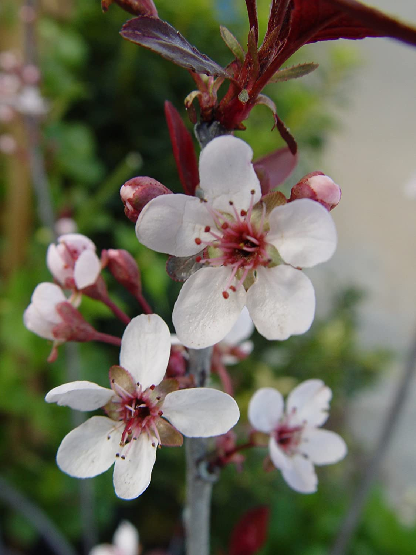 Amazon American Beauties Native Plants Prunus Maritima Beach