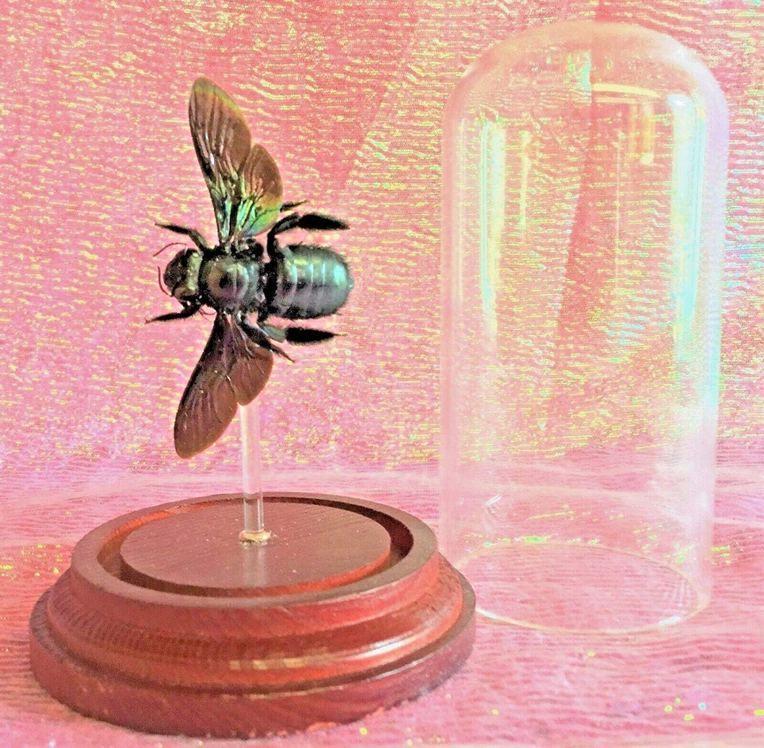 Entomology Taxidermy F Tropical Carpenter Bee Glass Dome Display Iridescent