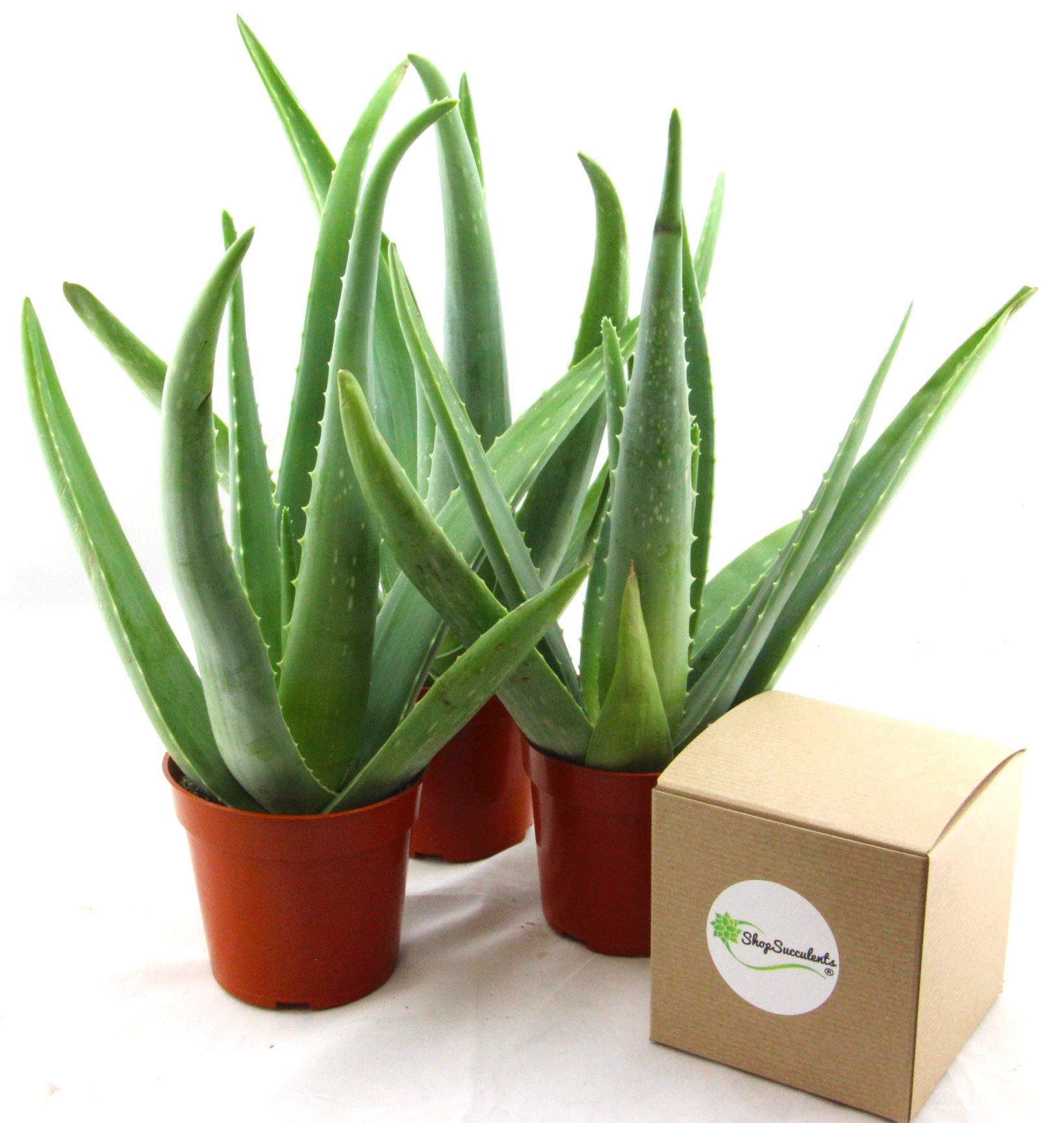 Shop Succulents 4'' Aloe Vera Plant (3)