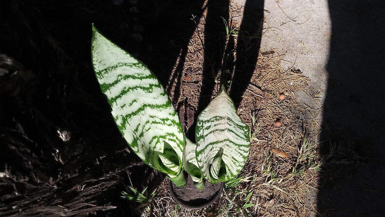 2 Plants in 4 Mother-in-LawS Tongue Sansevieria Go Garden 10 Zeylanica Snake Plant