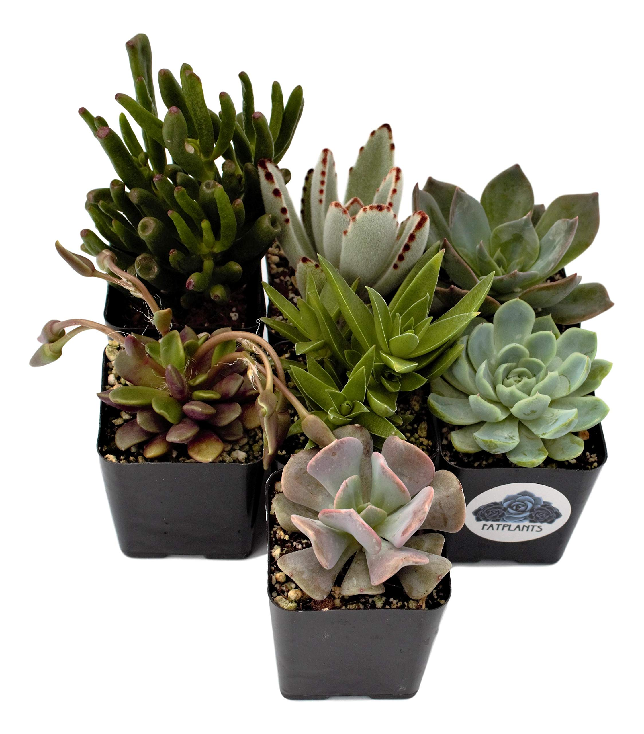 Fat Plants San Diego Premium Succulent Plant Variety Package. Live Indoor Succulents Rooted in Soil in a Plastic Growers Pot (7)