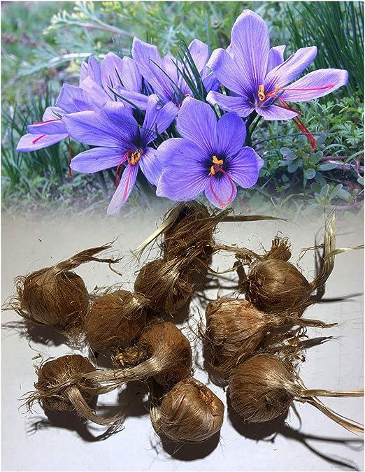 Garthwaite Nurseries Uk Stockist 25 Crocus Sativus Saffron Autumn Flowering Very Expensive Spice Grow Your Own Perennial Amazon Co Uk Garden Outdoors