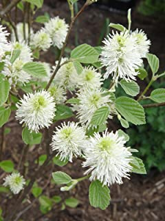 Amazon 1 gallon confederate jasmine produces clusters of 1 gallon mount airy dwarf fothergilla multi season plant honey mightylinksfo