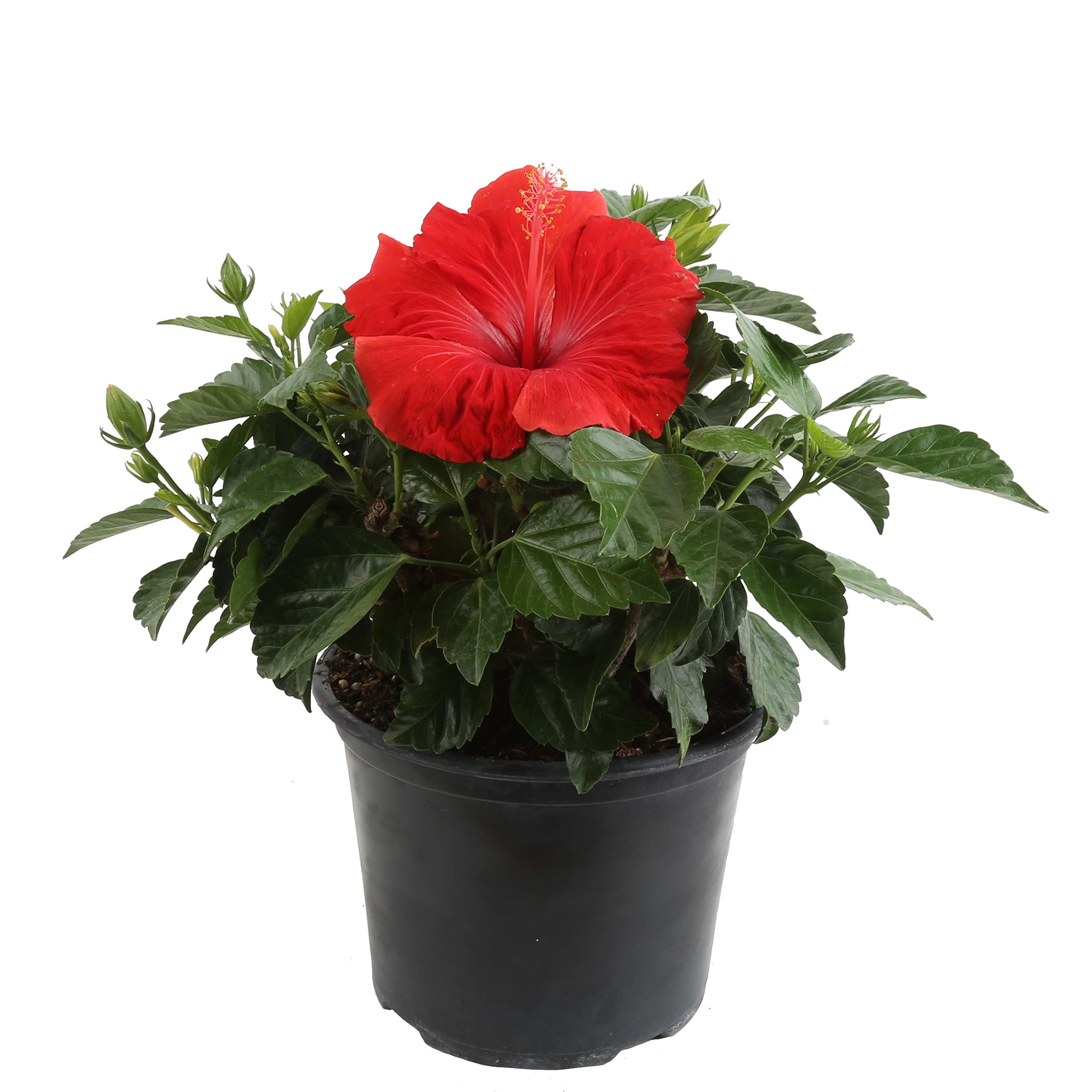 Costa Farms Live Hibiscus Outdoor Plant in in 1 QT Grower Pot, 1QT 4-Pack, Red by Costa Farms (Image #2)