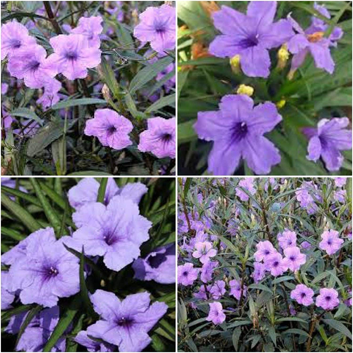 Ground Cover Attracts Butterflies 3 Plants Katie Pink Dwarf Mexican Petunia