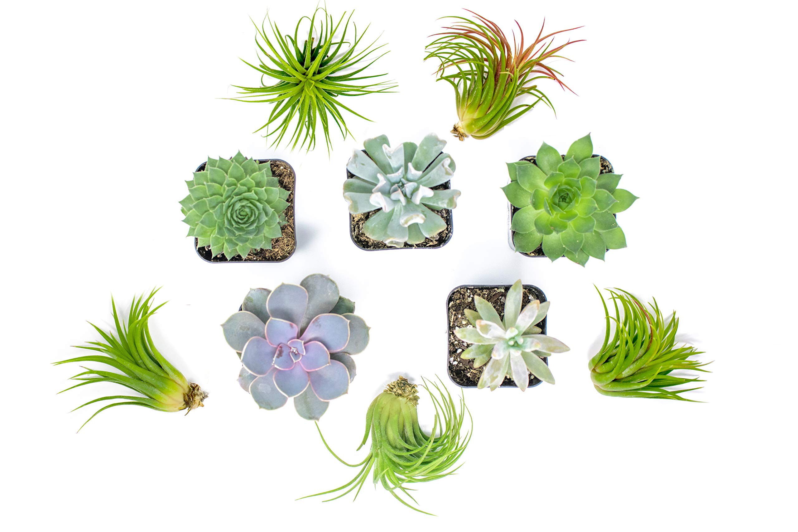 Succulent Air Plant Combo Pack | 5 Succulents and 5 Airplants | Real Live Home Decor House Gift | Indoor Mix Pack | Rooted in Pots by Plants for Pets by Plants for Pets (Image #1)