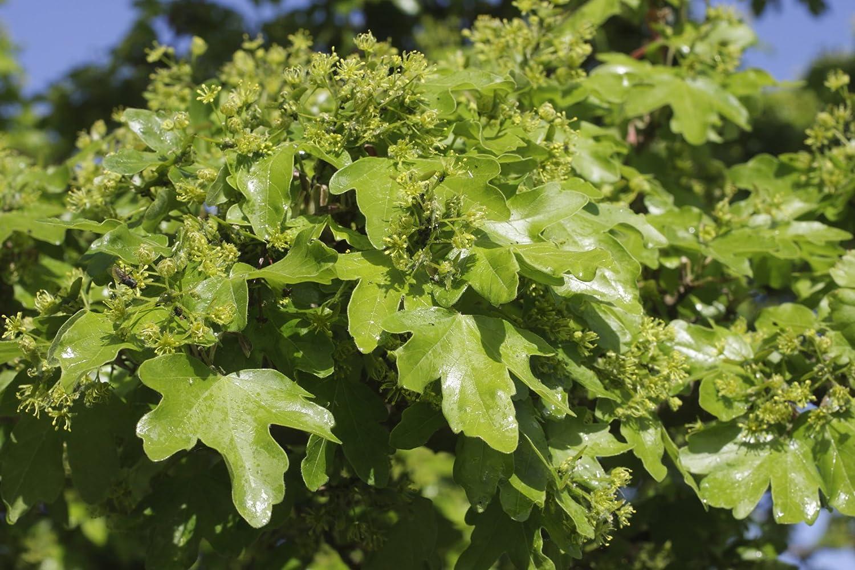 25 Field Maple Hedging Native Trees Acer Campestre 2-3ft Plants,Autumn Colour 3fatpigs/®