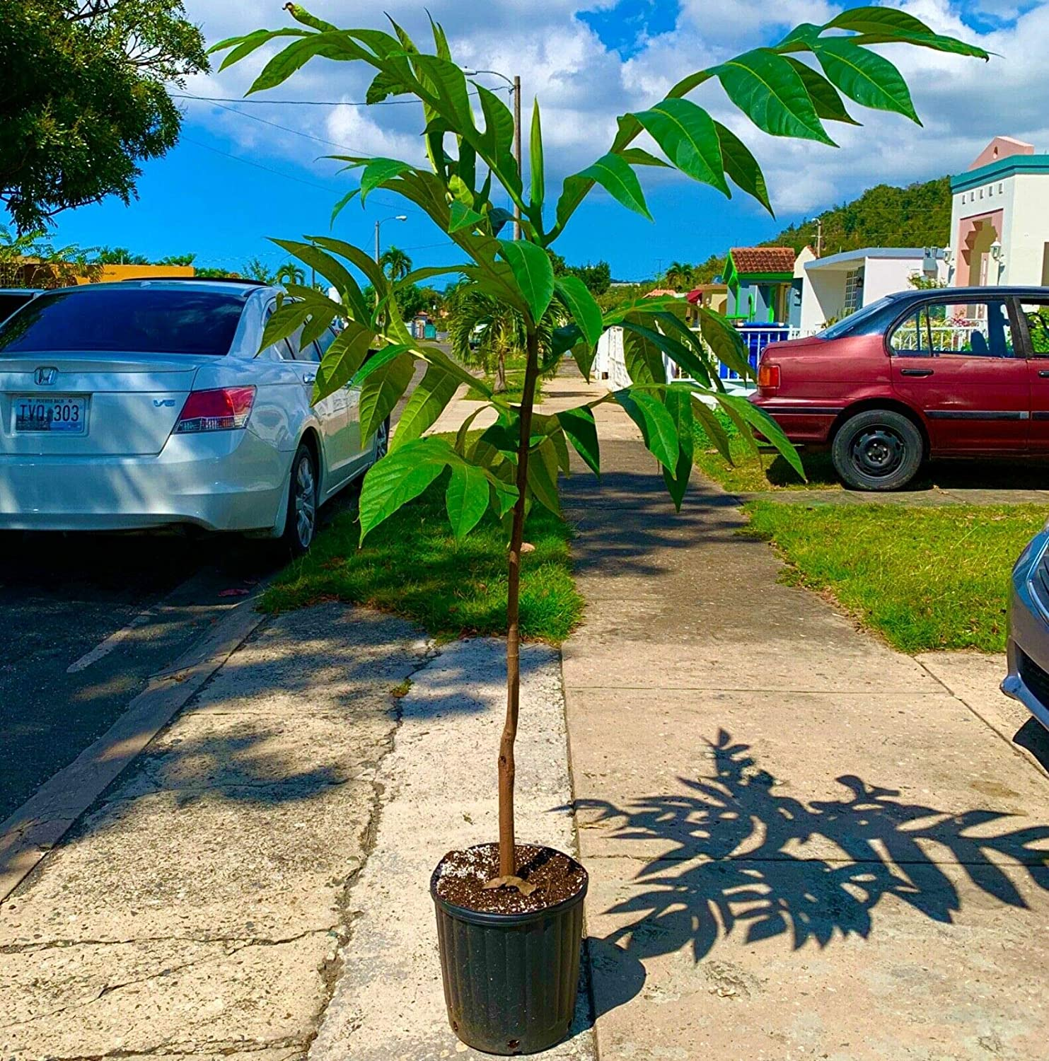 Amazon Com Fruit Plant 10 Years Grafted Breadfruit Live Tree Panapen Variety Giant Tree 4 6 Tall Garden Outdoor