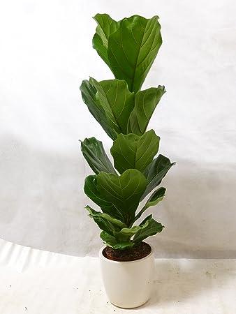 Pflanze Mit Großen Blättern palmenlager ficus lyrata 100 120 cm geigenfeige zimmerpflanze