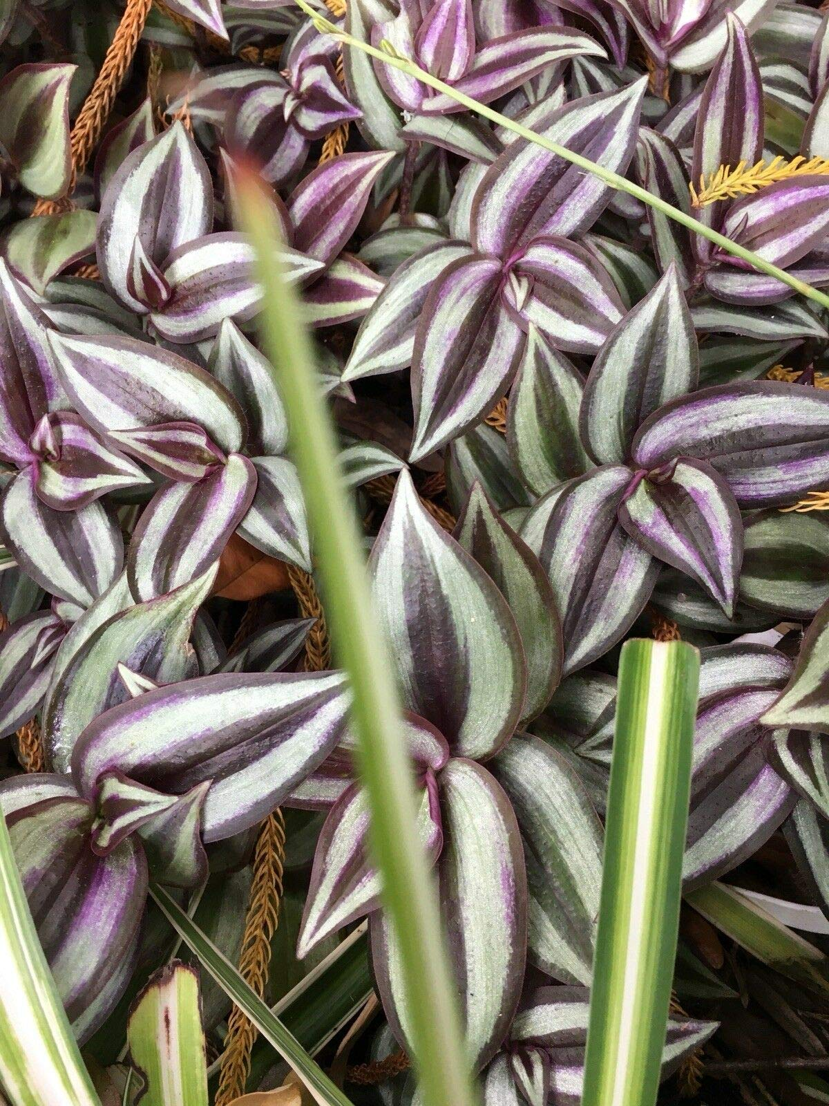Wandering Jew Tradescantia Zebrina House Plant 6 Rooted Cuttings Burgundy Silver (Premium Quality) by AY-premium