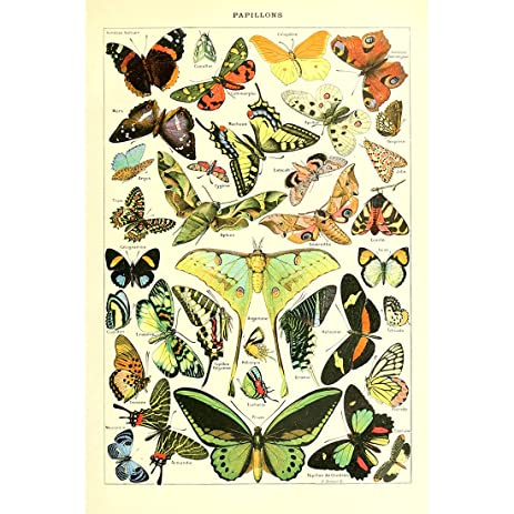Vintage Poster Print Wall Art Butterflies Of The World Breeds Collection  Old Insects Scientific Chart Butterfly