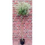 Harlekin Weide, Salix integra Hakuro Nishiki, Pflanze: 180-190 cm + Dünger