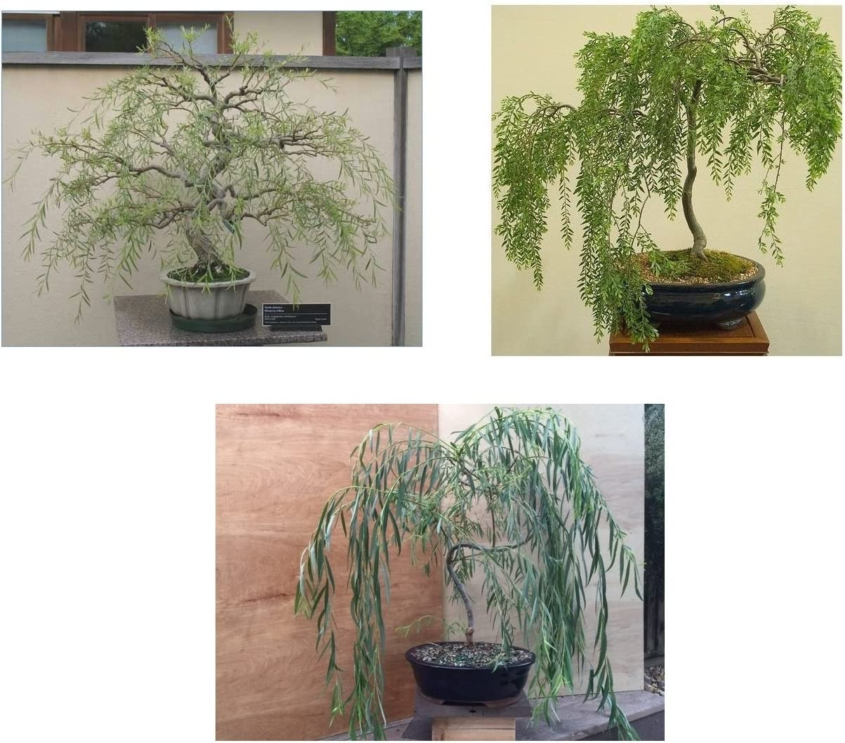 Amazon Com Bonsai Willow Tree Bundle 3 Large Trunk Bonsai Tree Cuts Get One Each Weeping Australian Dragon Ready To Plant Indoor Outdoor Bonsai Tree S Garden Outdoor