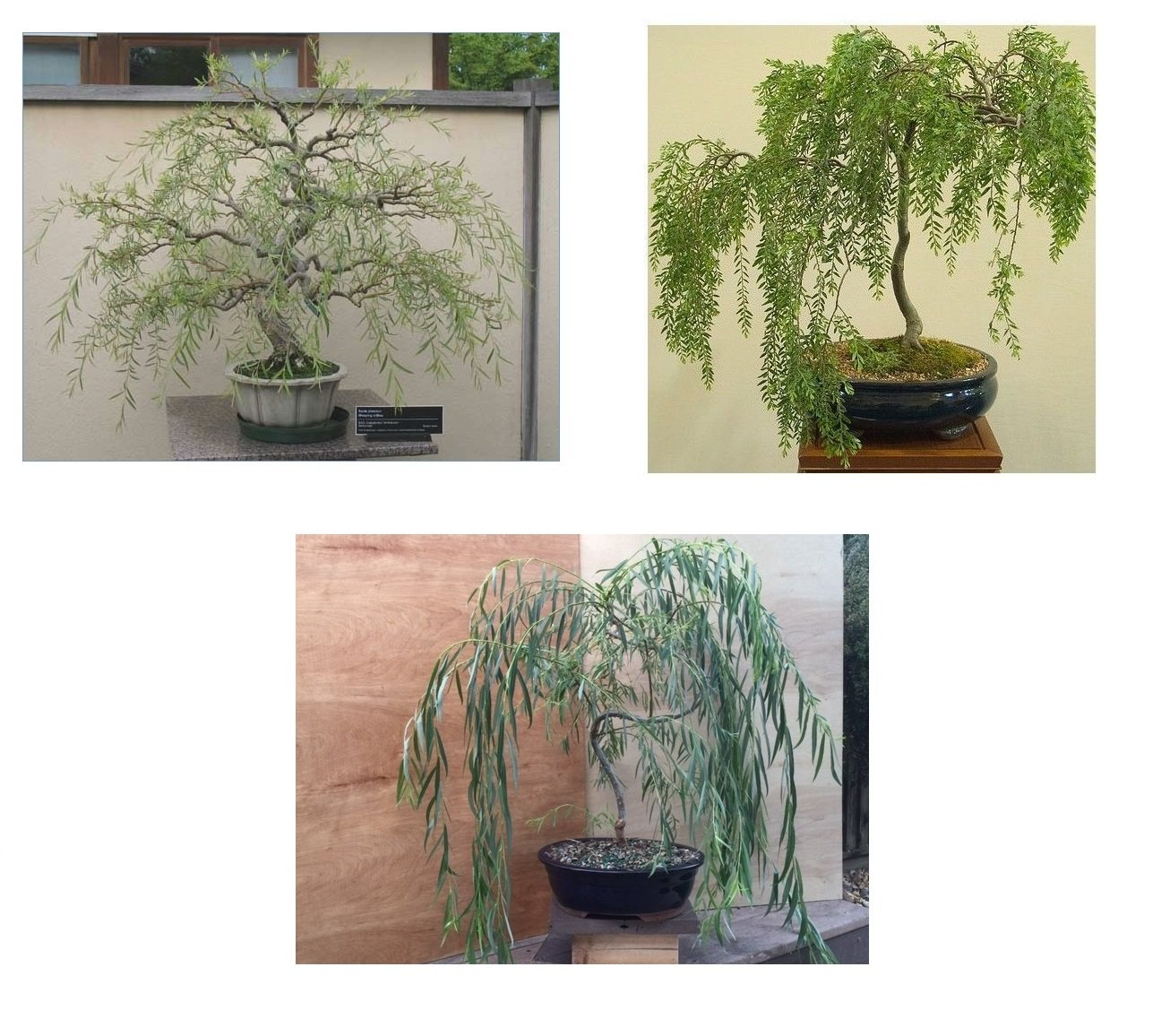 Bonsai Willow Tree Bundle - 3 Large Trunk Bonsai Tree Cuts - Get one Each Weeping, Australian, Dragon - Ready to Plant - Indoor/Outdoor Bonsai Tree's by CZ Grain
