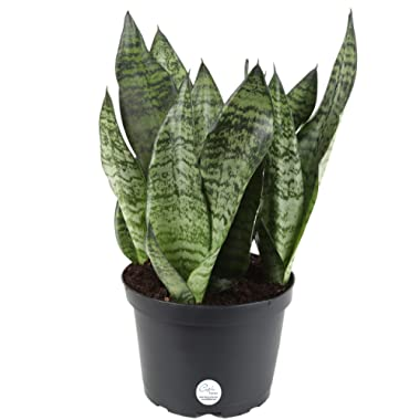 Costa Farms Snake Plant, Sansevieria, 12-Inches Tall, Easy-Care, Ships in Grow Pot, Fresh From Our Farm